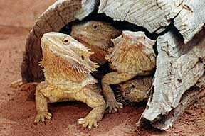 Alice Springs Reptile Centre - Port Augusta Accommodation