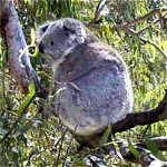 Koala Conservation Centre - Port Augusta Accommodation