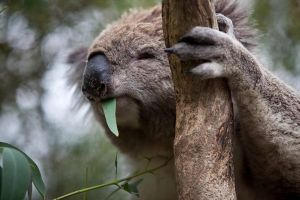 Phillip Island Koala Conservation Centre Entry ticket - Port Augusta Accommodation