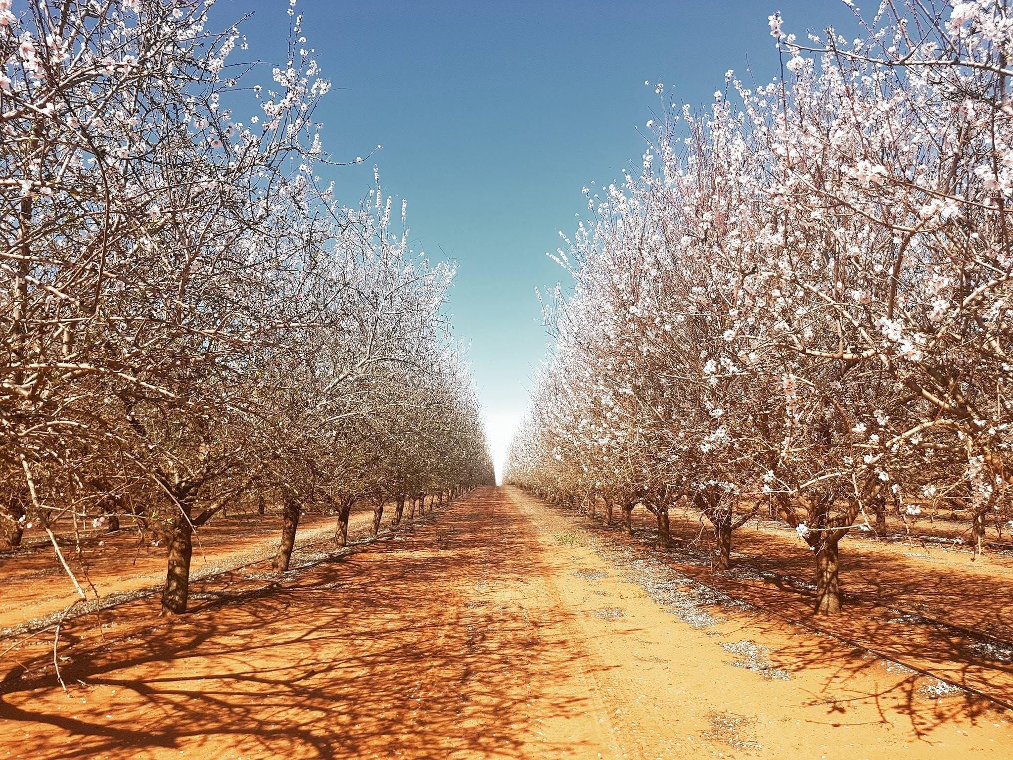 Mallee Almond Blossom Festival - Port Augusta Accommodation