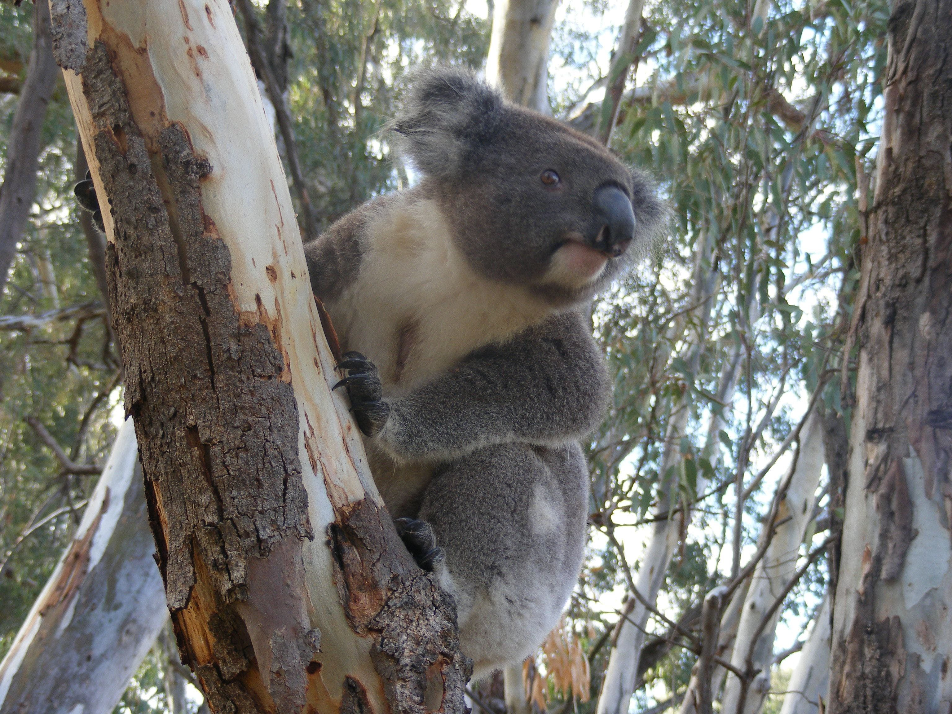 Annual Koala Count - Port Augusta Accommodation